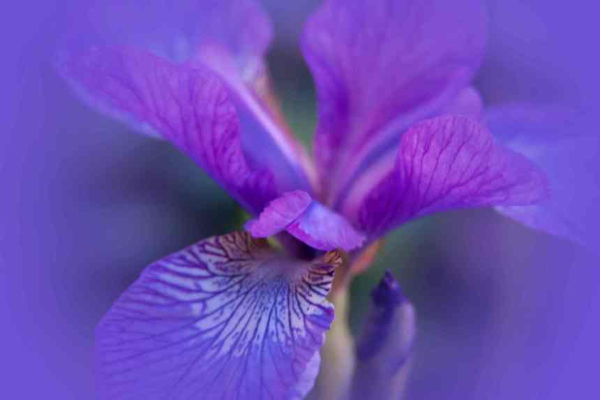 Iris blue V low res