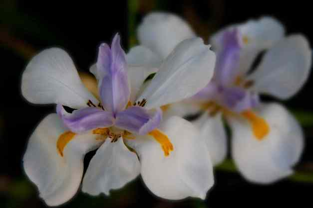 Iris fairy 2 low res