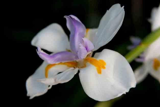 Iris fairy 3 low res