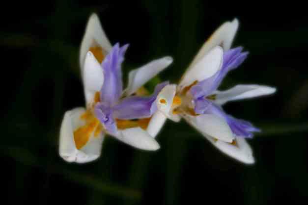 Iris fairy 4 low res