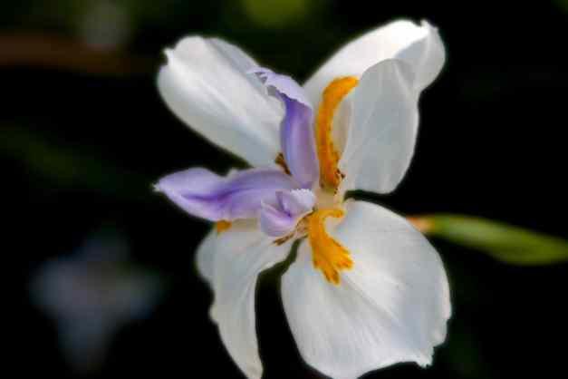 Iris fairy 5 low res