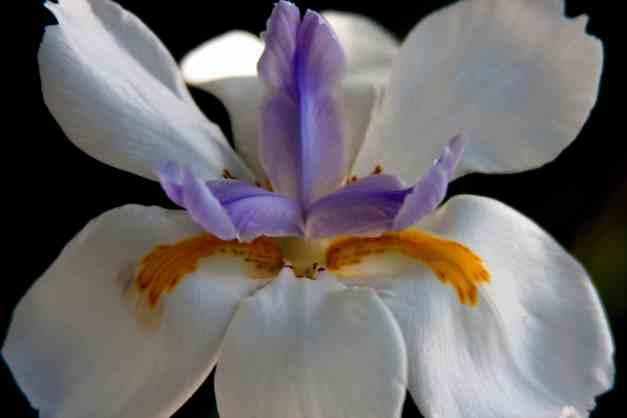 Iris fairy 8 low res