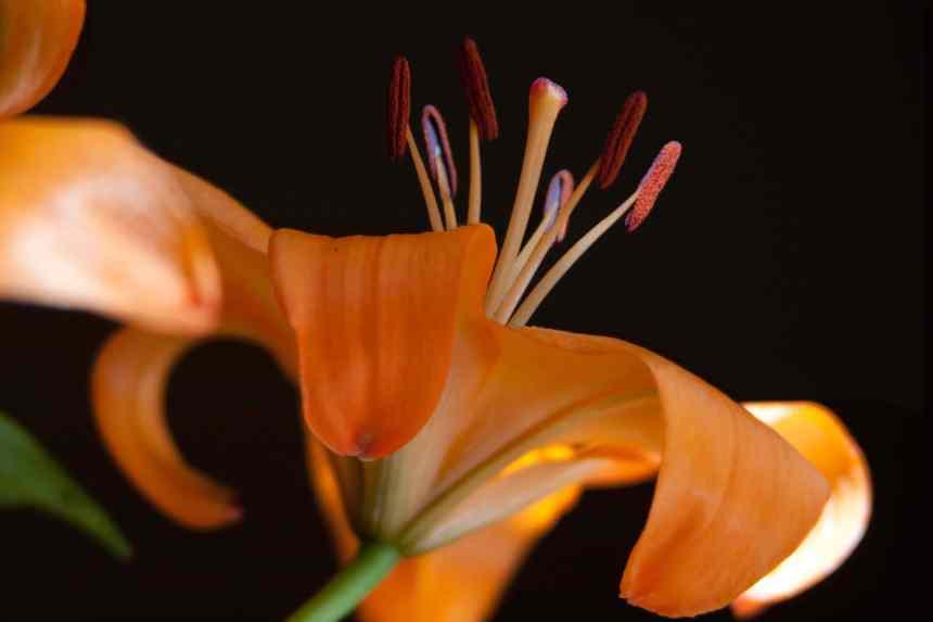 LA lilies 3 low res
