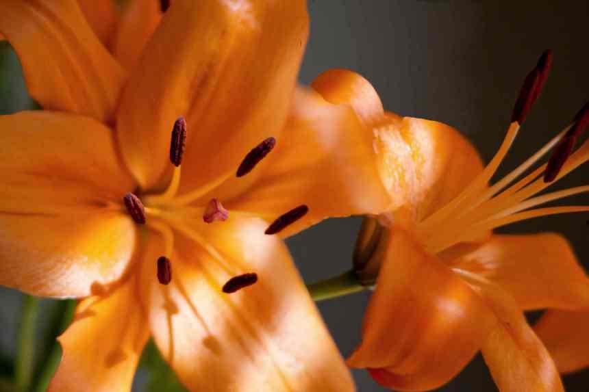 LA lilies low res
