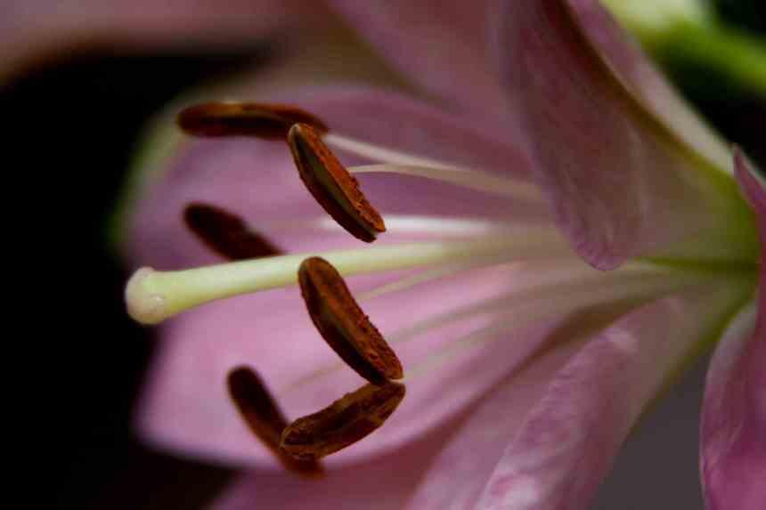 LA lily pink 4 low res