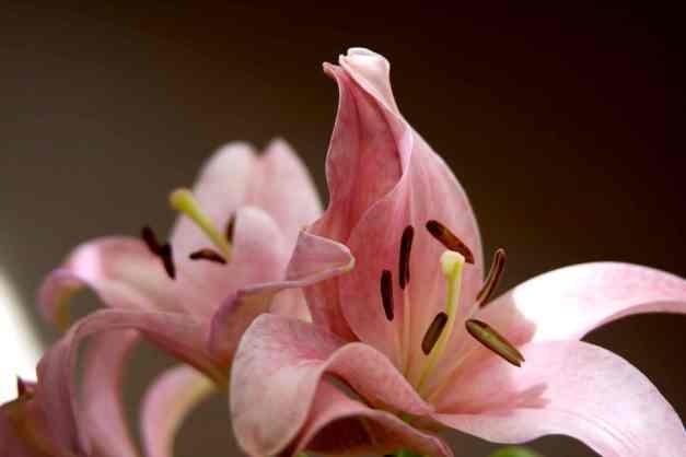 LA lily pink 6 low res