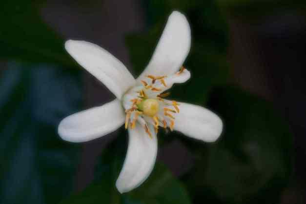 Lemon blossom single low res