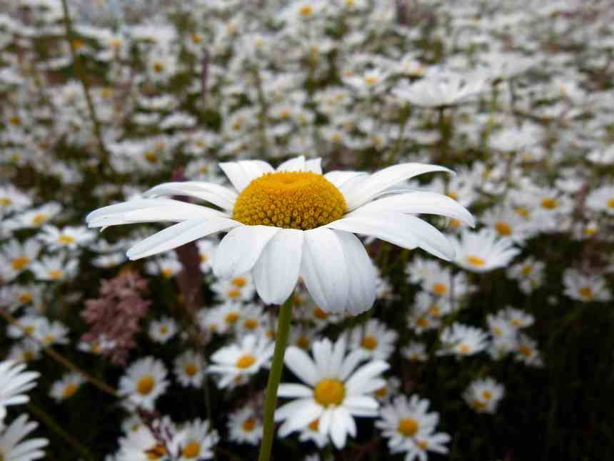 Oxeye Daisy low res