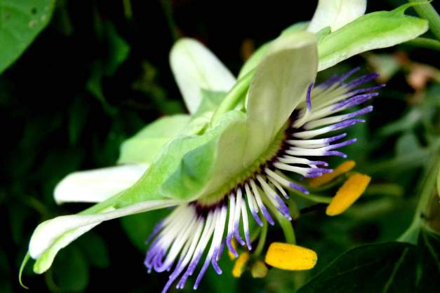 Passion flower side low res