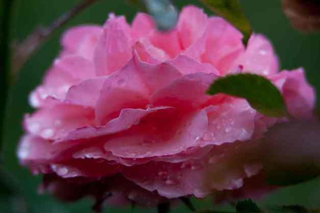 Pink rose wet low res