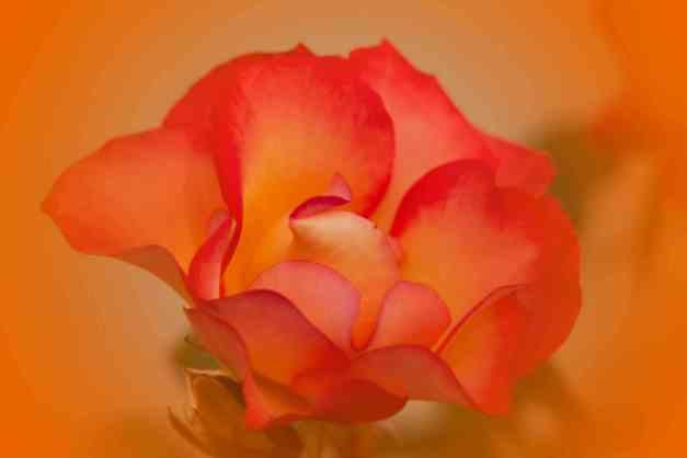 Rose orange V low res