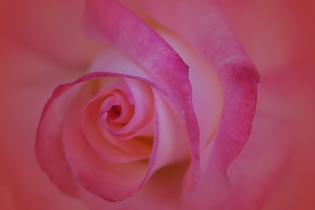 Rose peach pink V2