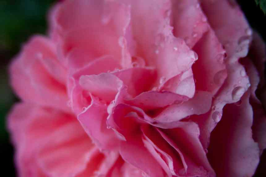 Rose pink fluffy 4 low res