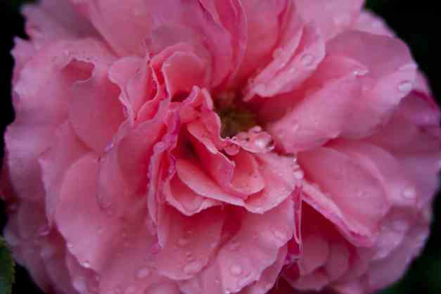 Rose pink fluffy low res