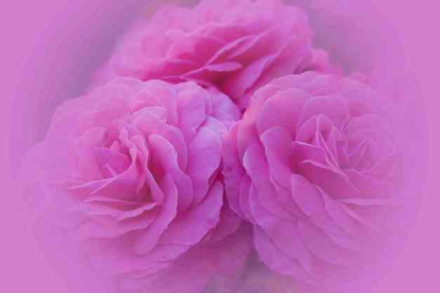 Rose pink  V2 low res