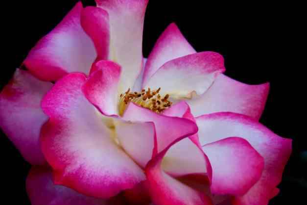 Rose pink white low res