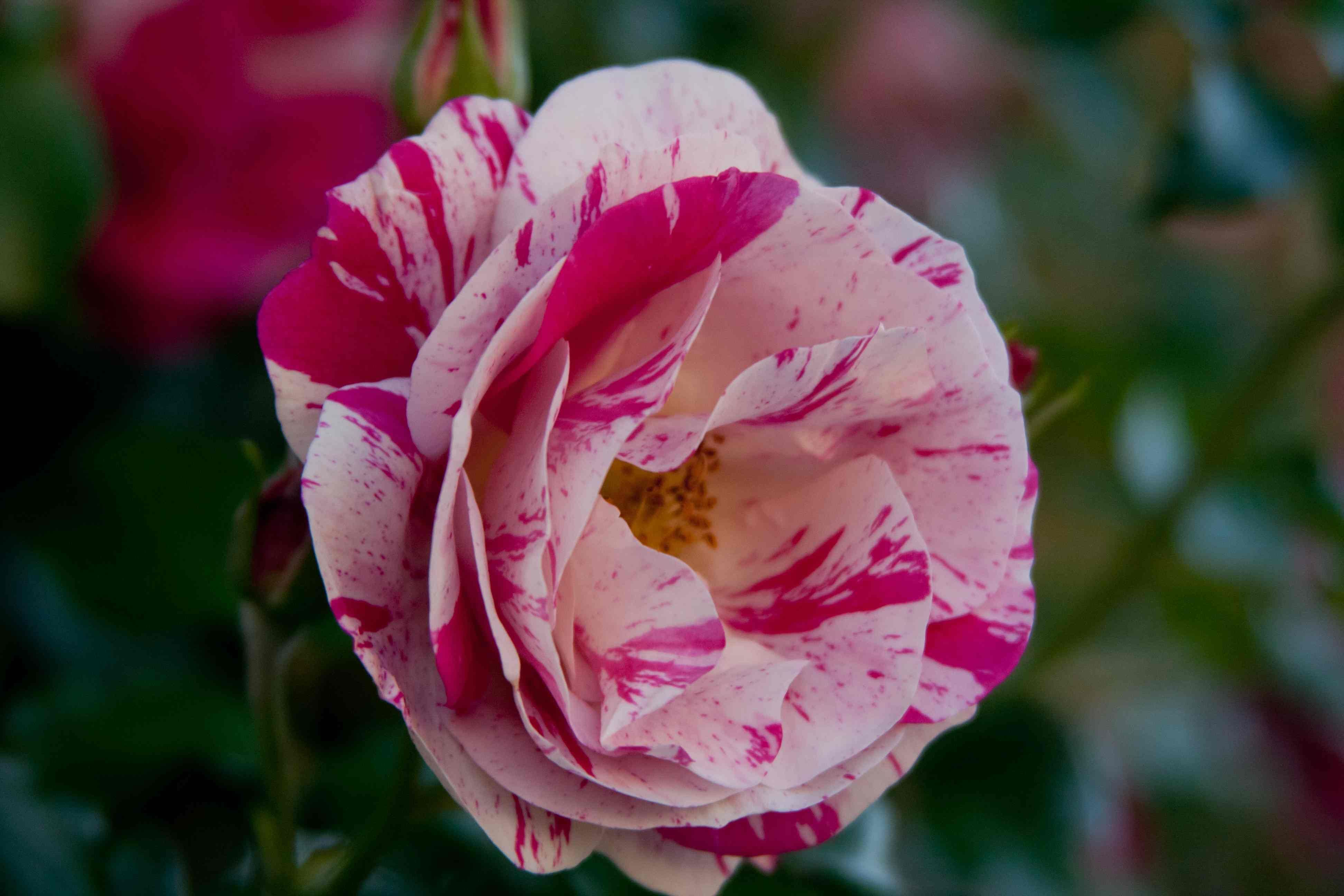 Pink And White Variegated Roses Fables And Flora