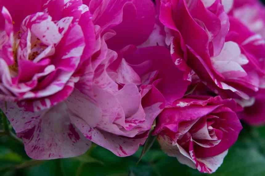 Rose vari 8  low res
