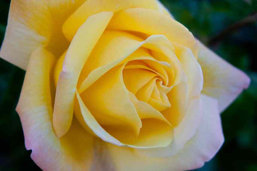 Rose yellow low res