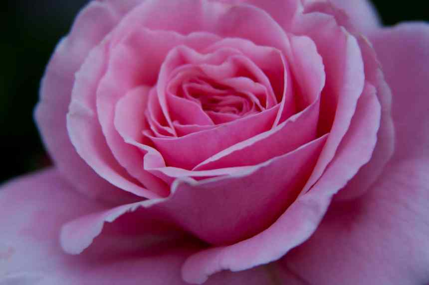 Roses pale pink 4 low res