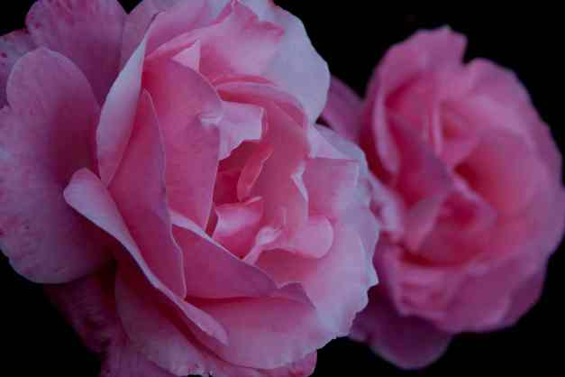 Roses pale pink low res