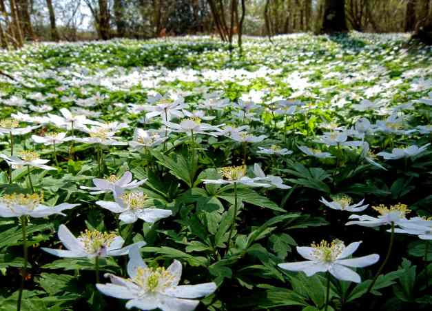 Woodland Anemones low res
