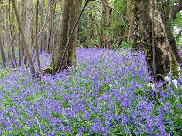 Woodland bluebells low res