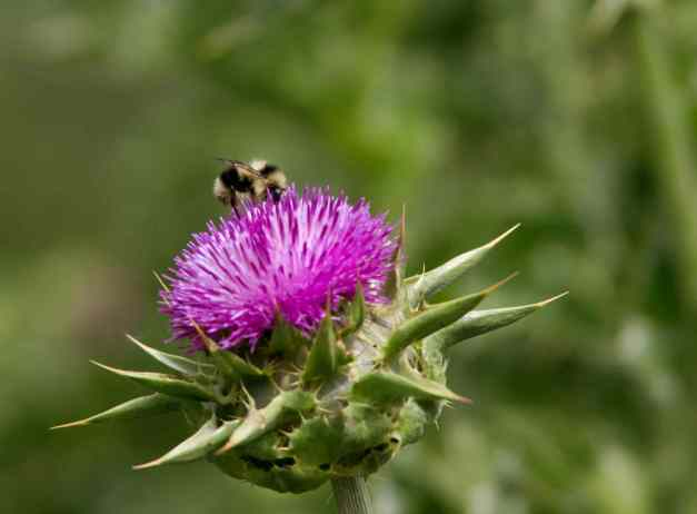 Bee on Thistle low res