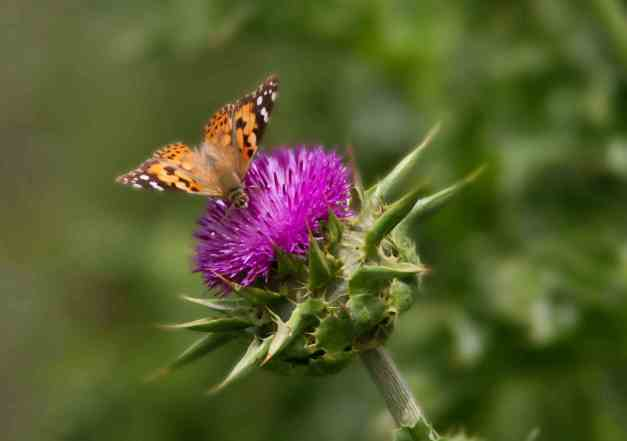 Butterfly on Thistle 2 low res