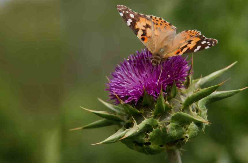 Butterfly on Thistle 3 low res