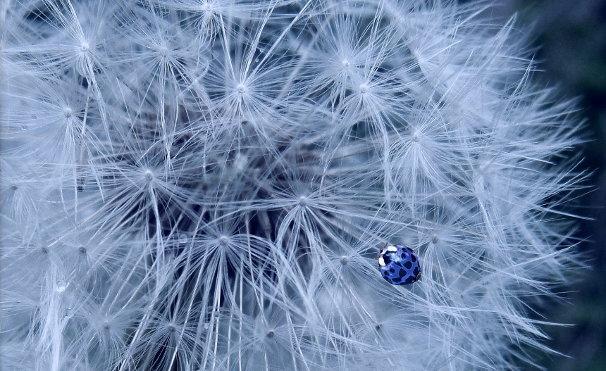 Dandelion and blue ladybird