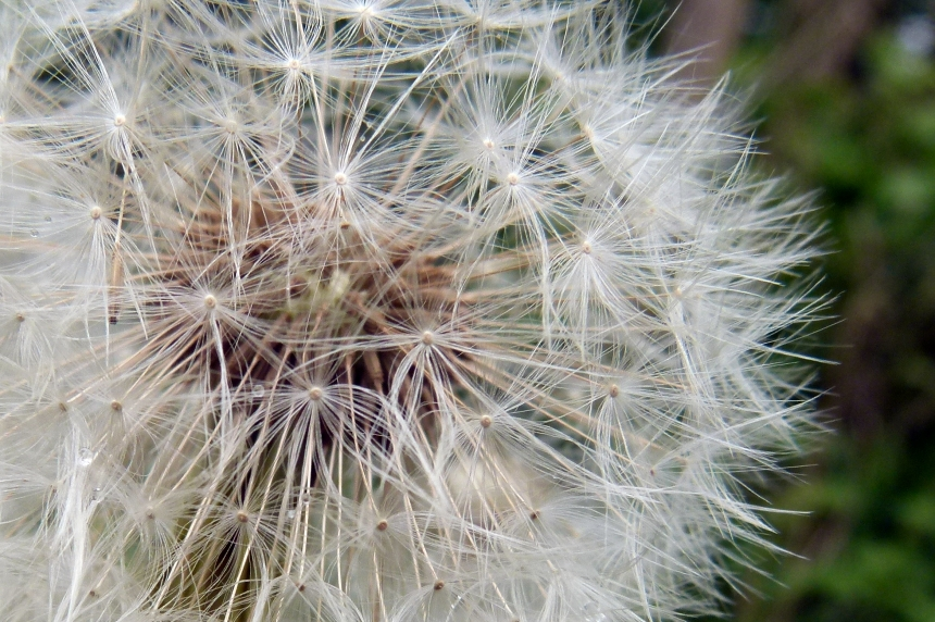 Dandelion seeds close-up