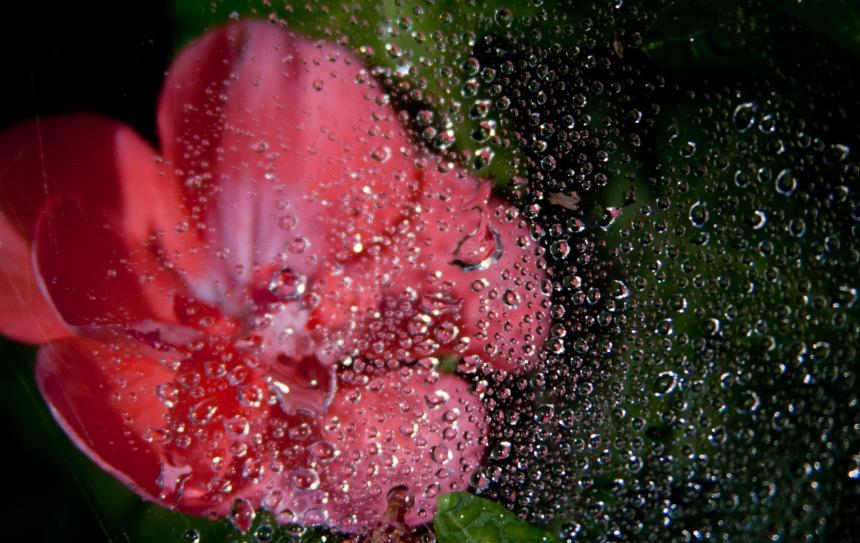 Geranium web wet2