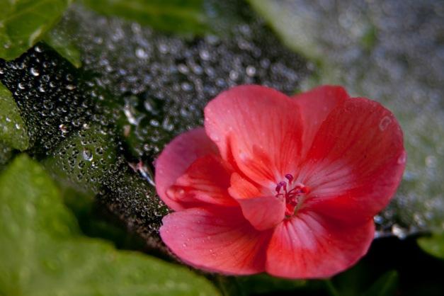 Geranium web wet6