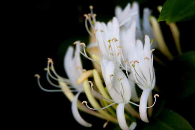 Honeysuckle 2 low res