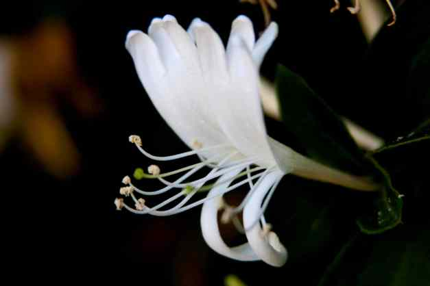 Honeysuckle 4 low res