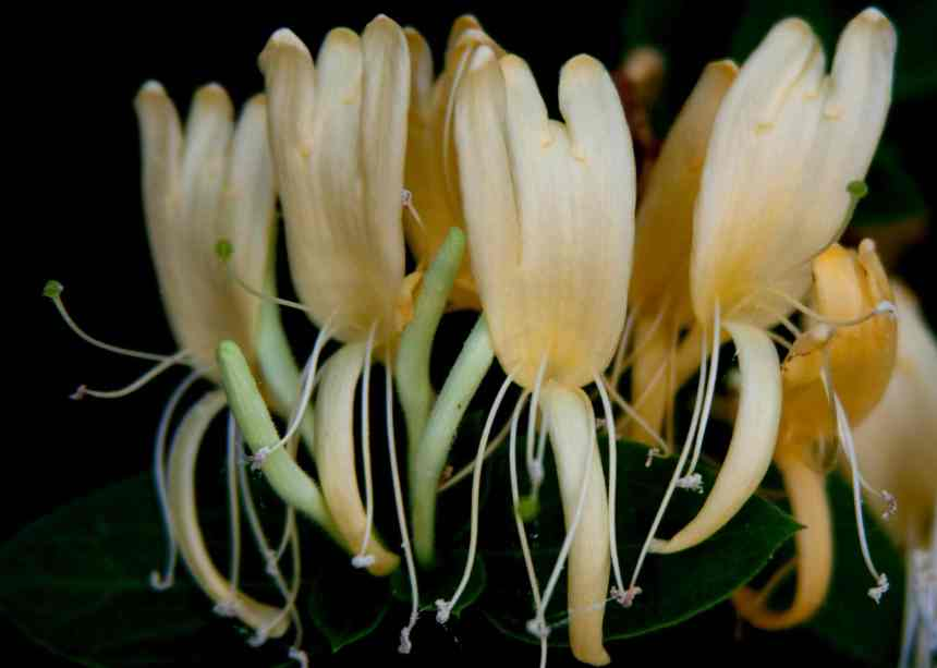 Honeysuckle 5 low res1