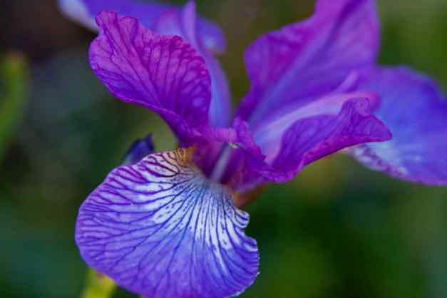 Iris blue 2 low res