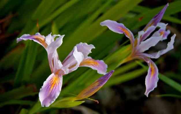 Iris pair low res