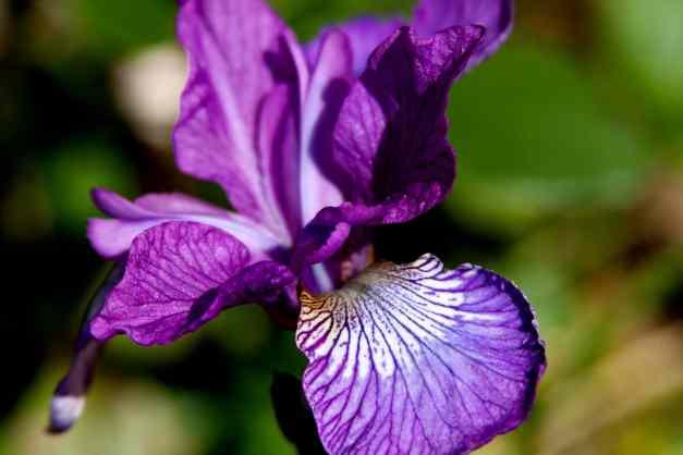 Iris pueple  low res