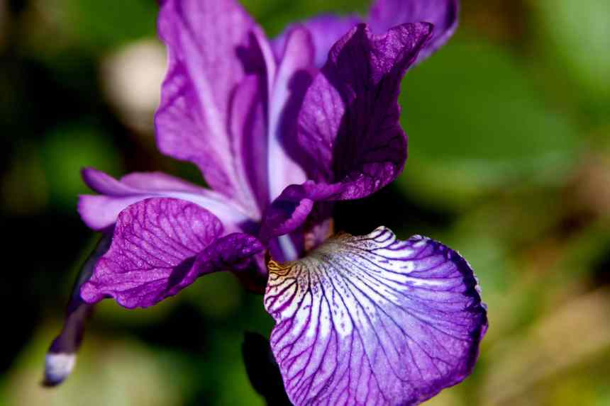 Iris pueple  low res
