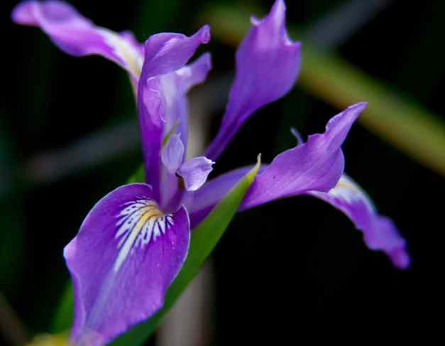 Iris purple 3 low res