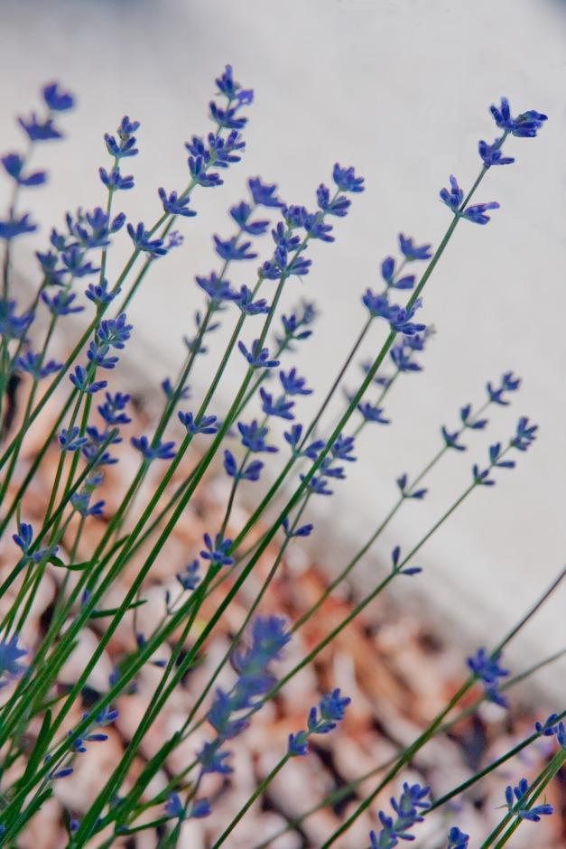 Lavender 5