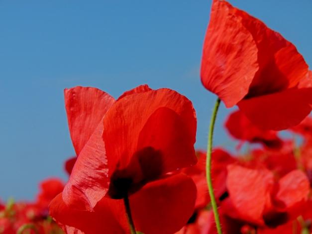Poppy blue sky