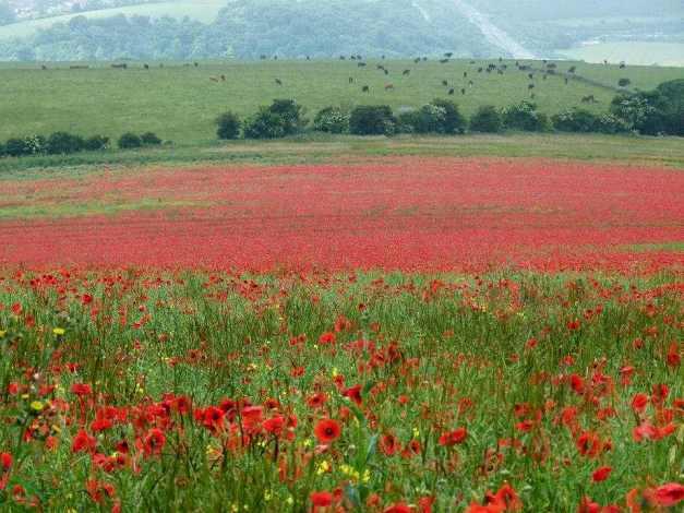 Poppy field low res
