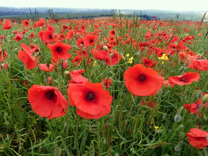 Poppy field wet