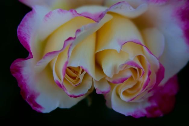 Rose 2 heads