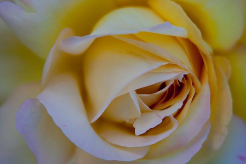 Rose yellow 3