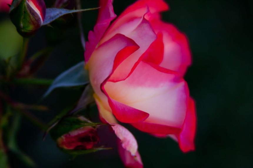Tea rose 2