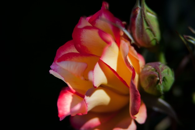 Tea rose 3